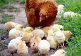 Hen-mother