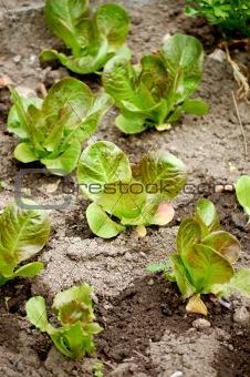 green salad field