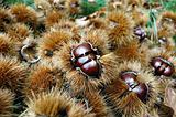 chestnuts with curls