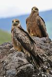 Two Black Kite.