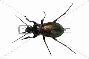 Groundbeetle