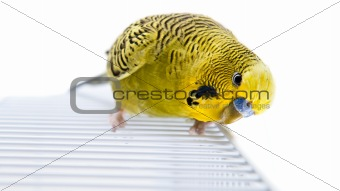 Green budgie