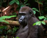 Portrait of Western Lowland Gorilla