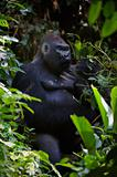 Portrait of male Lowland Gorilla.