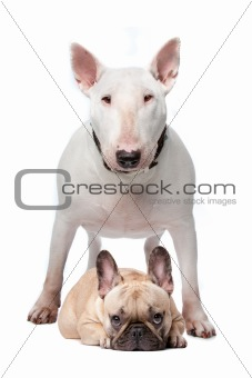 Bull terrier and French bulldog