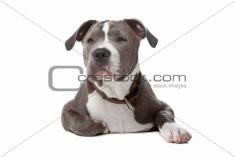 american staffordshire bull terrier isolated on a white background