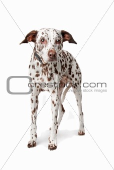 blind and old Dalmatian stading in front of white background