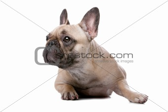 French bulldog in front of a white background