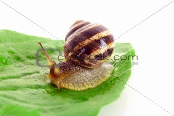 Snail on leaf over white background