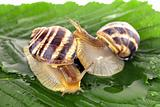 Two snails on leaf over white background