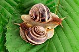 Two snails on leaf closeup