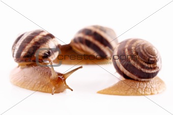 Three snails isolated on white