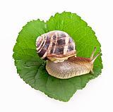 Snail on leaf over white background