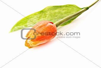 Single tulip flower isolated on white