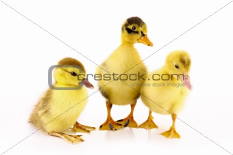 Three ducklings isolated on white