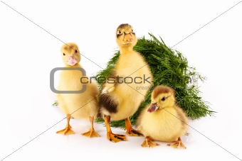Three ducklings on green grass background isolated on white