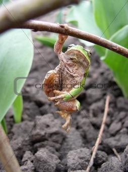 Prankish frog
