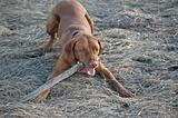 Vizsla Dog with a Stick