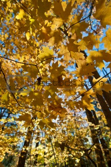 Canopy of Autumn Leaves