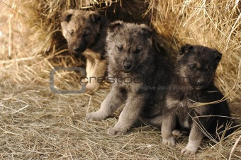 Three puppy in hay