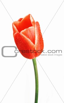 Beautiful tulip with dewdrops isolated on white