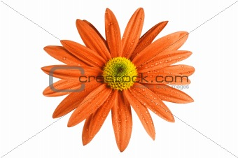 Beautiful orange chrysanthemum with dew drops isolated on white