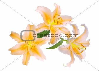 Beautiful yellow lilies on white background