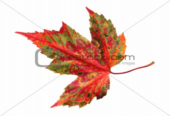 autumn leaf maple isolated on white background