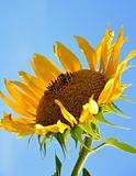 sunflower and bee over blue sky background
