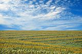 field of sunflowers and perfect blue sky