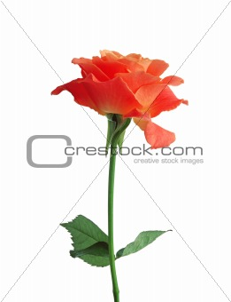 beautiful orange rose isolated on white background