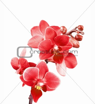 Bautiful red orchid isolated on white