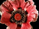 poppy flower