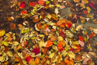Floating Fall Leaves in Pond at Public Park