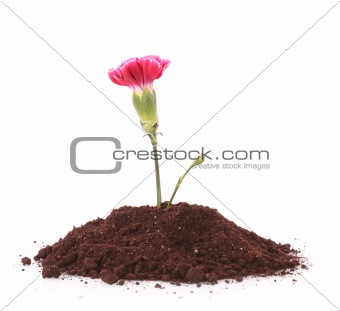 Young plant with flower in ground isolated on white