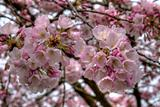 Cherry Blossom Blooming in Portland Oregon