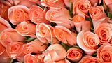 light orange color roses