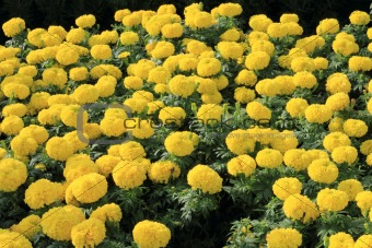 group of yellow marigolds