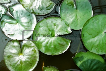 green lotus leaves