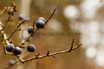 Autumn background with blackthorn with very shallow focus