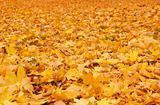 Fall orange autumn leaves on ground