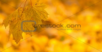 Orange autumn leaves background with very shallow focus
