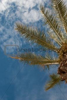 Palm treetop