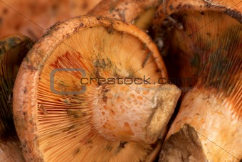 Red pine mushrooms