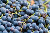 Grape selective focus for backgrounds