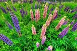 Lupine Flowers