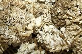 Maitake Mushrooms