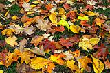 Fall Leaves on Lawn Grass