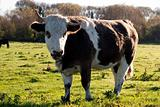 Close-up Cow
