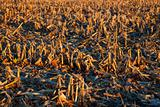 Corn Field after harvest